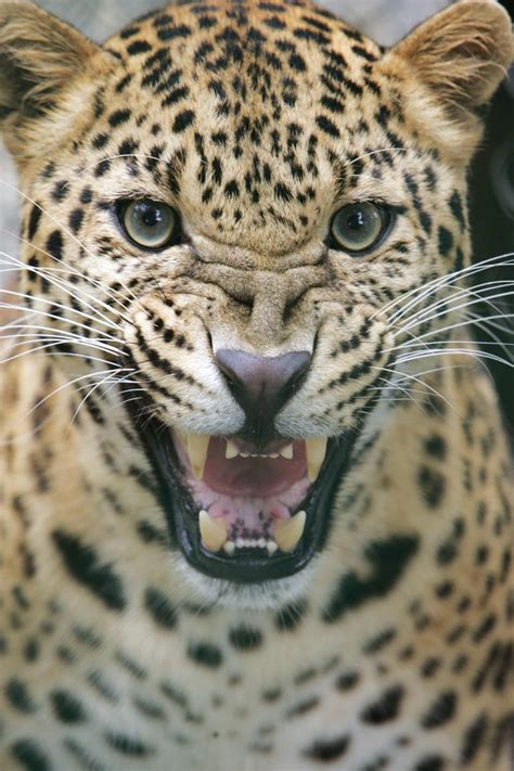 Leopard Viciously Attacks Pet Dog After Entering Home