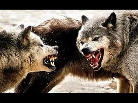 chernobyl's radioactive wolves ! ( the terrifying